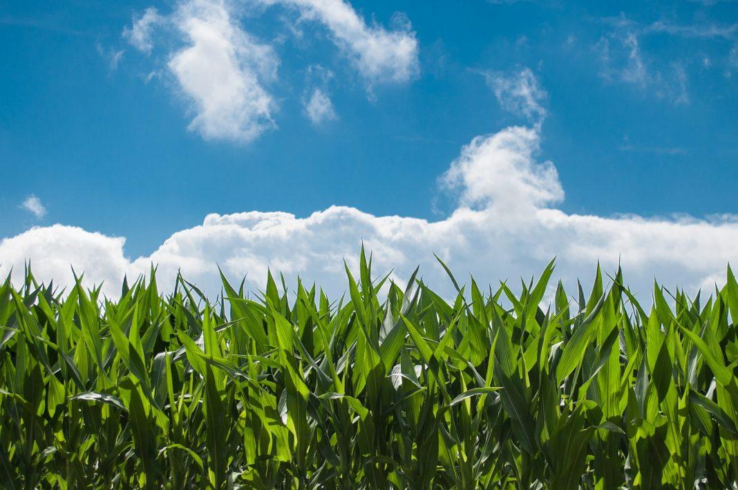 koruza polje kmetijstvo