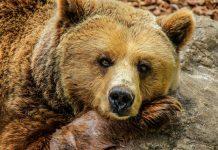 Odstrel 115 medvedov