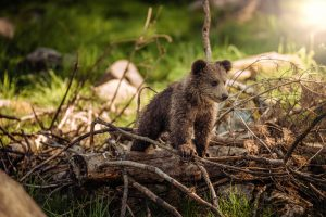 Ali bo odstrel 115 medvedov obveljal in zadostoval?