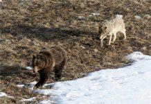 Škoda, ki jo povzročijo medvedi in volkovi.