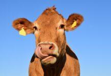 krava, govedo